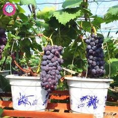 Hạt giống Nho Lùn trồng chậu (gói 10 hạt)
