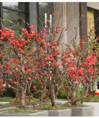 Bộ 2 gói hạt giống hoa mai đỏ – Tặng kèm 2 viên kích thích nảy mầm