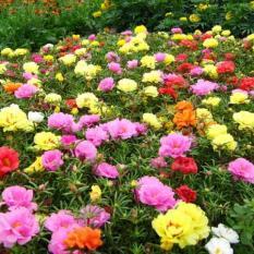 Gói 100 Hạt giống hoa Mười giờ nhiều màu (tặng gói kích nẩy mầm và hướng dẫn)