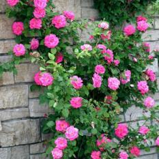 Nơi Bán Hạt giống hoa Hồng leo (Gói 15 hạt – Kèm tài liệu HD)) Giá Chỉ 59.000đ