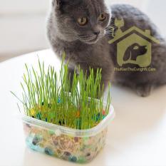 Hạt giống cỏ mèo ChiCat đủ đồ chỉ việc trồng