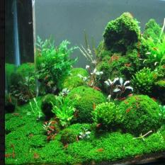 Hạt giống thủy sinh (Cây trân châu lá nhỏ)