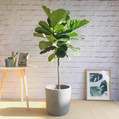 Cây bàng Singapore kích thước 20-30 cm (có Bảo hành cây chết)