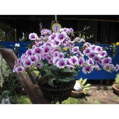 Cây giống hoa lan Den yaya mini – denro