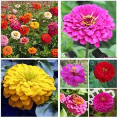 Hạt giống hoa Nhi nha kép mix (Gói 25 hạt – Kèm tài liệu HD)