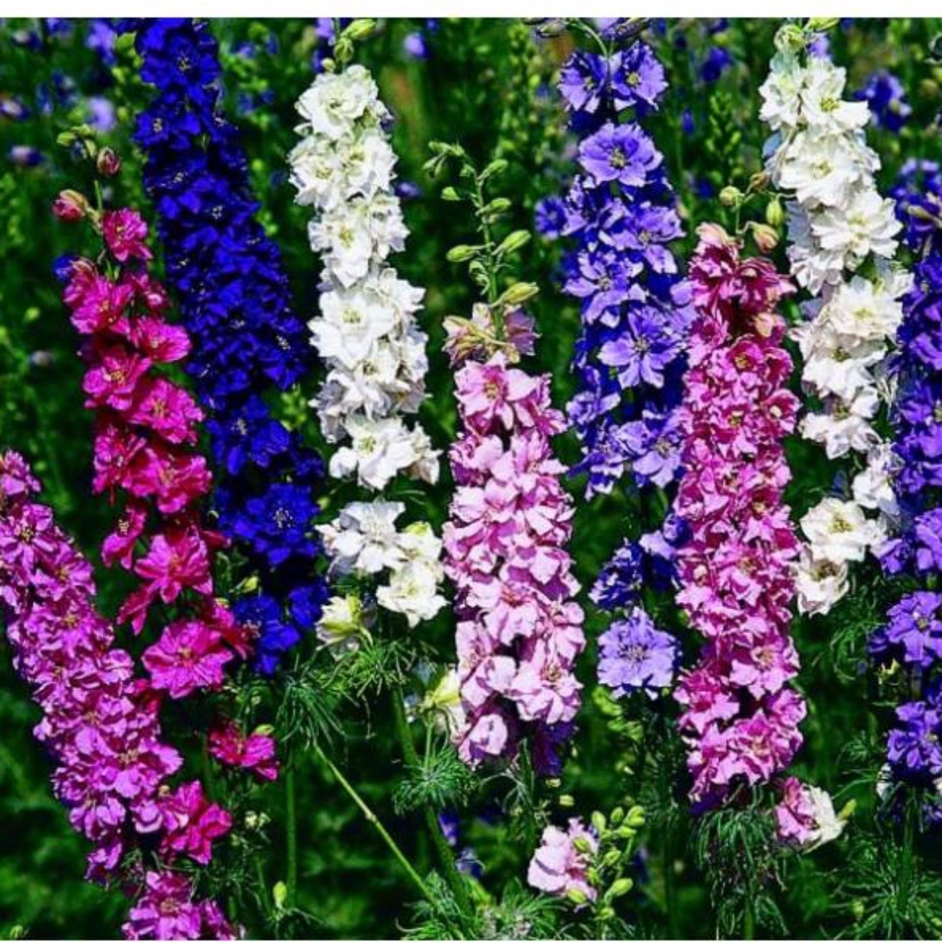 Hạt giống hoa Phi yến (violet) mix – Kèm tài liệu HD)