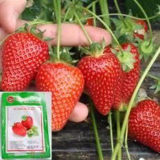(HOA TRONG NHÀ) Hạt giống quả dâu tây đỏ (loại quả đỏ tươi) Combo 100 hạt phù hợp khí hậu nhiệt đới