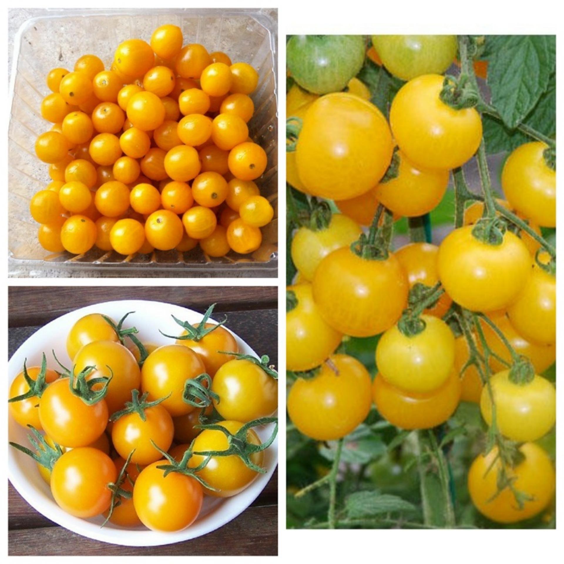 Hạt giống Cà chua bi lùn vàng- Kèm tài liệu Hướng dẫn
