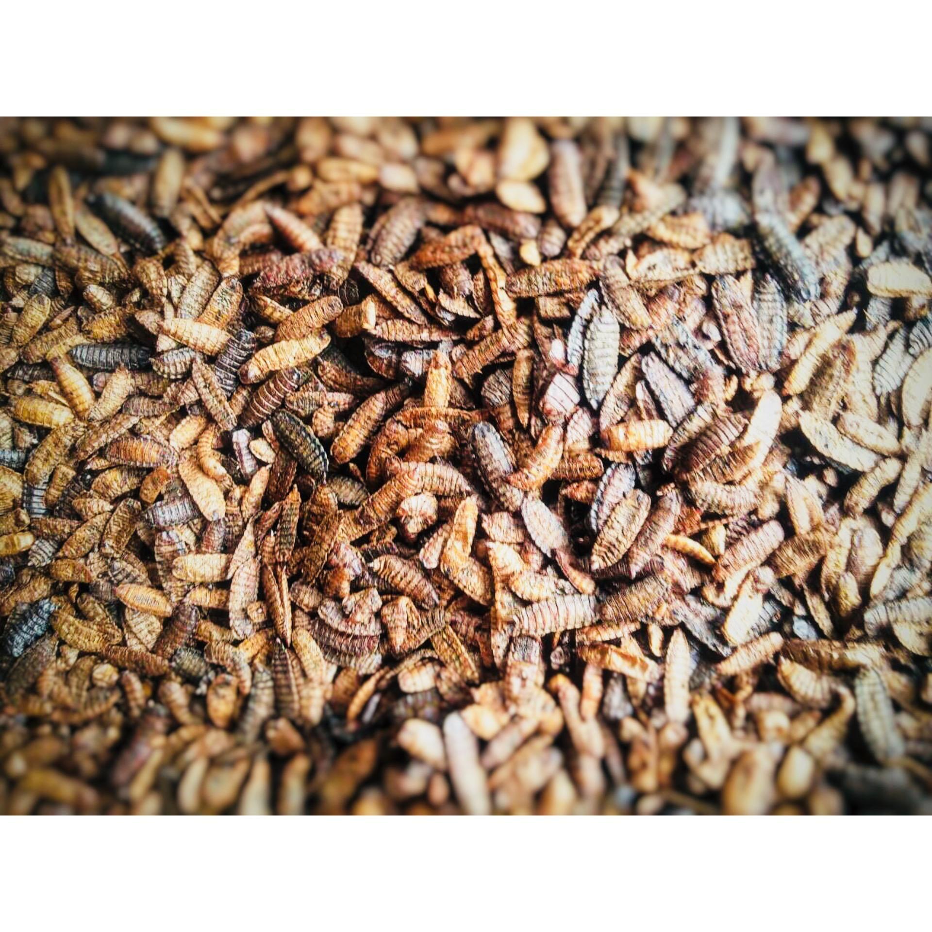 Nhộng Canxi giàu đạm sấy khô – ENTOBEL