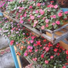 Hạt giống Hoa ngọc thảo mix (Gói 10 hạt – Kèm tài liệu HD)