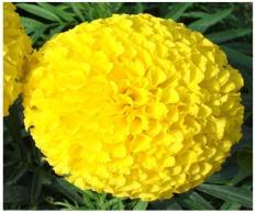 Hạt giống cúc vạn thọ vàng bông to 50 hạt