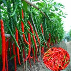 Gói 30 Hạt giống Ớt chỉ đậu đũa (tặng gói kích nẩy mầm và hướng dẫn)