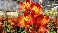 Củ Giống Hoa Địa Lan Santo Màu Đỏ