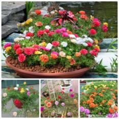 Hạt giống hoa Mười giờ kép Mix (Gói 50-60 hạt – Kèm tài liệu HD)