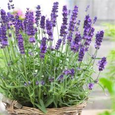 Gói 50 Hạt giống Hoa Oải hương (tặng gói kích nẩy mầm và hướng dẫn)
