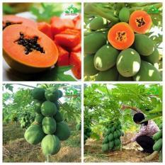 Gói 5 Hạt giống Đu đủ Lùn siêu trái (tặng gói kích nẩy mầm và hướng dẫn)