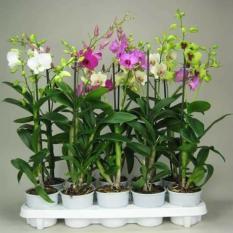 Comboo 10 cây hoa phong lan denro cây giống