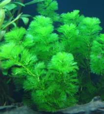 1 khóm Cây la hán xanh – cây rong thủy sinh đẹp mềm mại