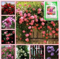 (HOA TRONG NHÀ) Hạt giống hoa Hồng leo Pháp (combo 20 hạt bông lớn đủ màu) phù hợp khí hậu nhiệt đới