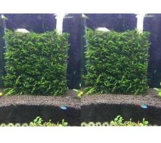 Flame Moss – RÊU LỬA THỦY SINH – gắn lưới inox khổ 8cm x 8cm