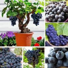 Gói 10 Hạt giống Nho lùn trồng chậu (tặng gói kích nẩy mầm và hướng dẫn)