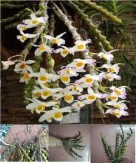 Giống cây hoa lan trúc phật bà – cây đang bắt đầu nhú mầm cây con ở gốc