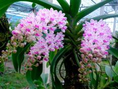 Hoa lan Đai Châu – Nghinh Xuân – Ngọc Điểm giống hoa lan rừng khỏe đẹp
