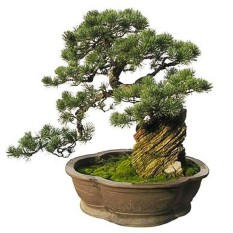 BEST SELLER Sunweb Japanese Five Needled Pine Tree Seeds Bonsai Pinus Parviflora Seeds Everygreen