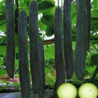Bộ 3 gói hạt giống Bí sặt cao sản - Tặng kèm 3 viên nén kích thíchnảy mầm