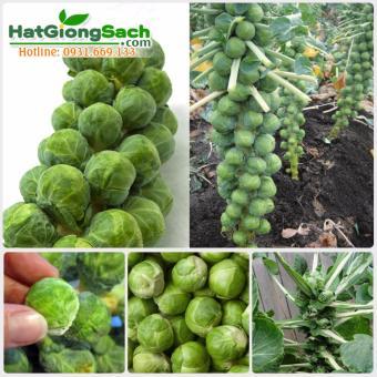 Hạt giống bắp cải tí hon (0.5g) - Hạt giống sạch