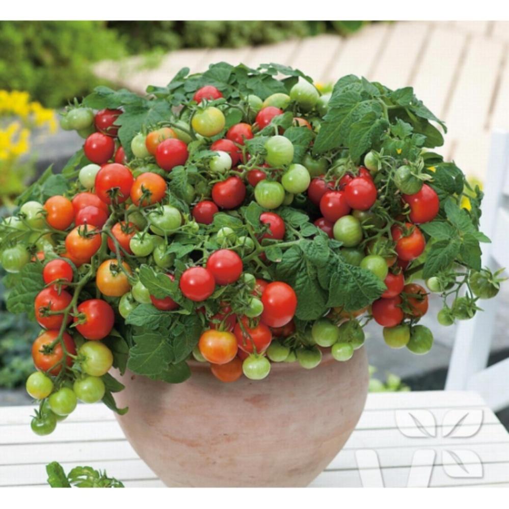 Hạt giống Cà chua bi lùn quả đỏ - Tặng kèm một viên kích thích nảy mầm