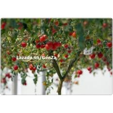 Hạt giống Cà chua leo giàn - Giống chất lượng cao, sai quả