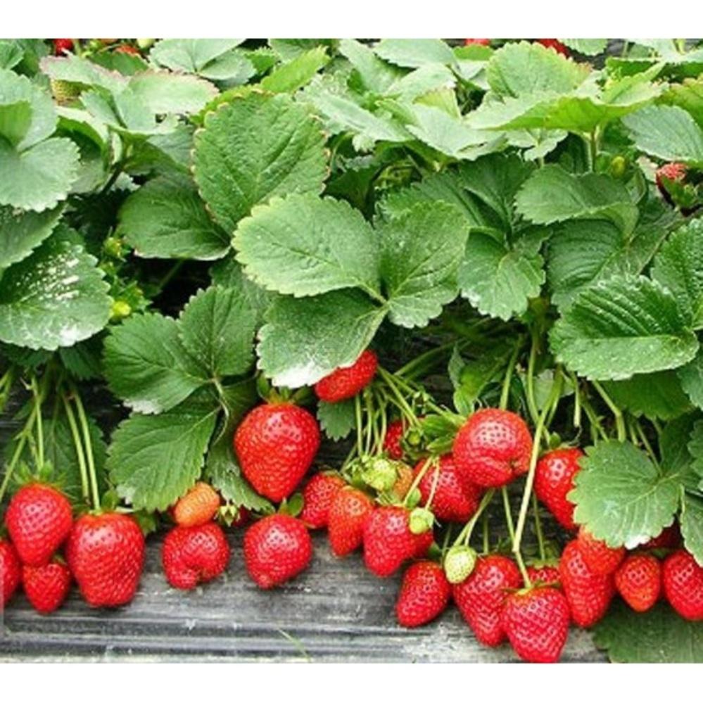 Hạt giống Dâu tây đỏ - Tặng kèm một viên kích thích nảy mầm