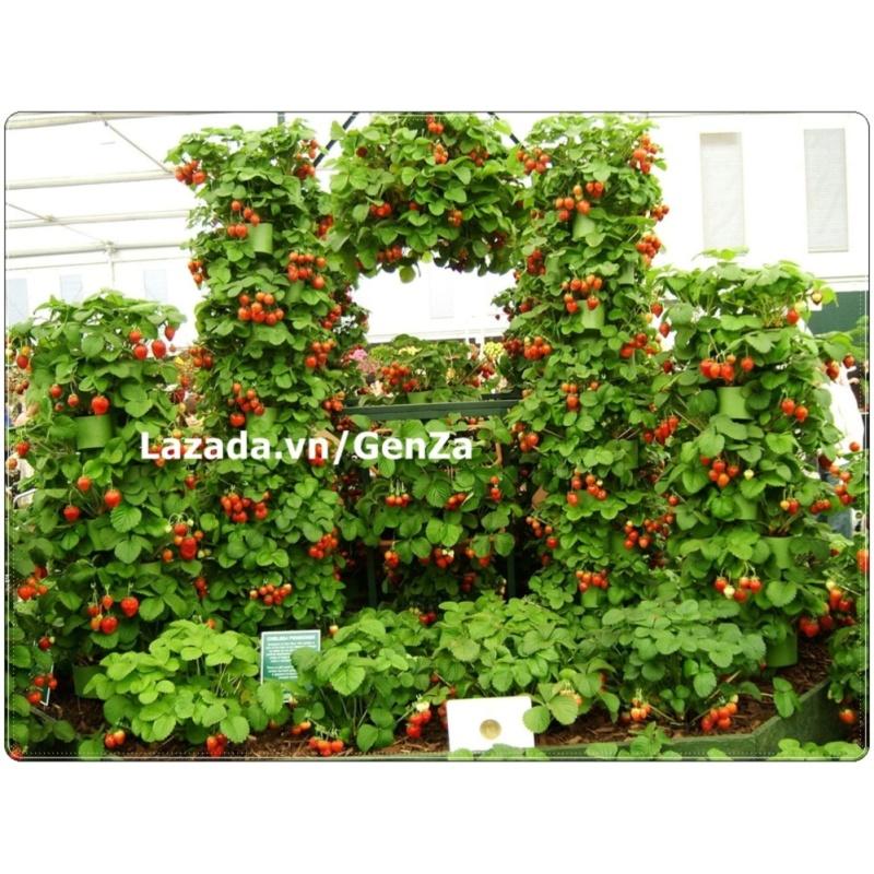 Hạt giống Dâu tây leo đỏ - Giống chất lượng cao, sai quả