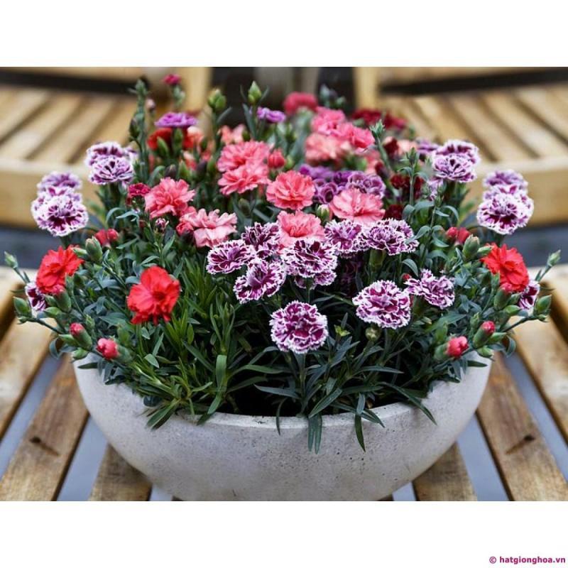 Hạt giống hoa Cẩm Chướng kép lùn mix - T.MART