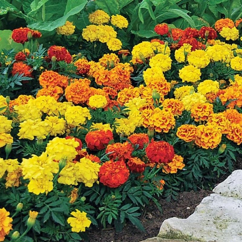 Hạt Giống Hoa Cúc Vạn Thọ Pháp - Tặng kèm một viên kích thích nảy mầm