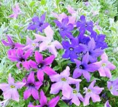 Hạt giống hoa Dạ Yên Thảo hình cánh sao mix (độc đáo) NTA STORE