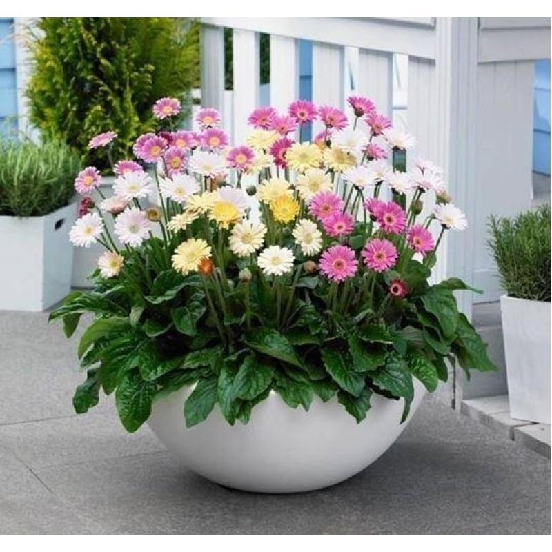 Hạt giống hoa Đồng Tiền Mix + Tặng 01 gói hạt giống hoa hồng leo pháp