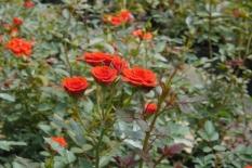 Hạt giống hoa hồng tỷ muội - Nhập từ khẩu Đức
