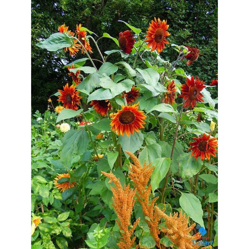 Hạt giống hoa Hướng Dương đỏ (cao 150 cm, bông 8-10 cm)