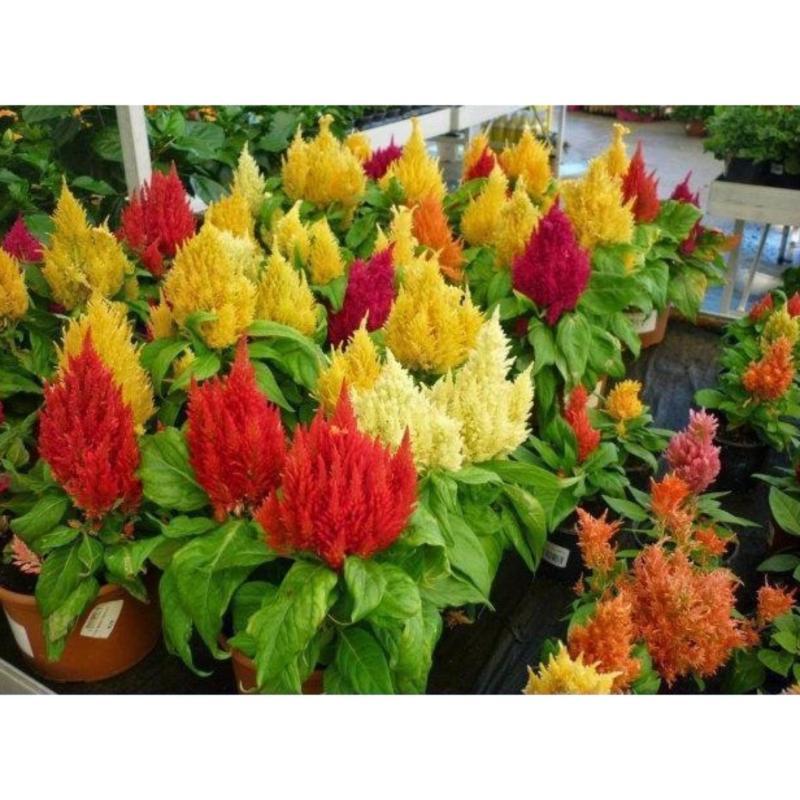 Hạt giống hoa Mào gà lửa nhiều màu