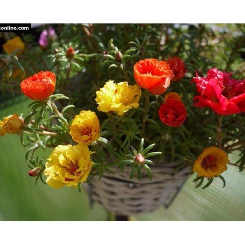 Hạt giống hoa mười giờ rũ Mỹ nhiều màu