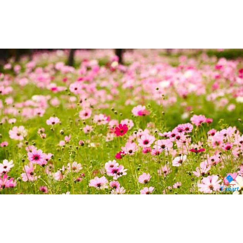 Hạt giống hoa Sao Nhái đơn cao Mix