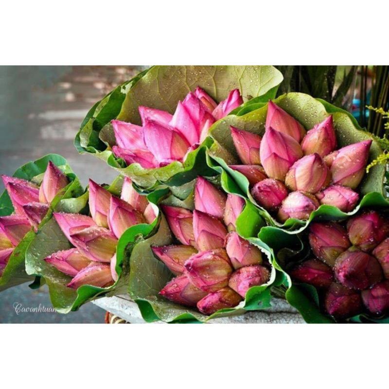 Hạt giống hoa sen ta Cây lớn - Bông lớn