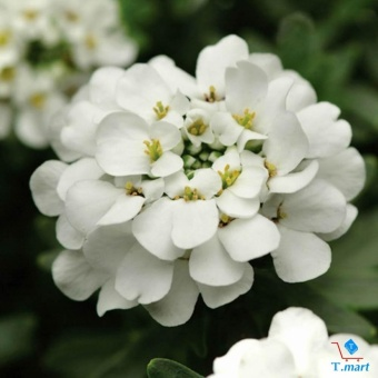 Hạt giống Hoa Thập tự trắng