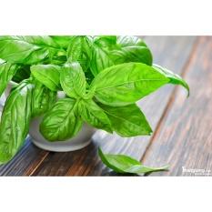 Hạt giống Húng tây - Tặng kèm một viên kích thích nảy mầm