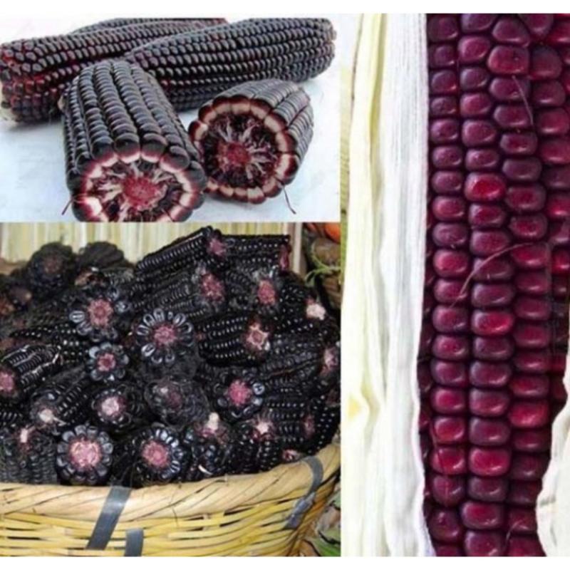 Hạt giống Ngô nếp tím - Giống chất lượng cao, sai quả