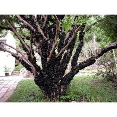 Hạt giống Nho thân gỗ - Tặng kèm một viên kích thích nảy mầm