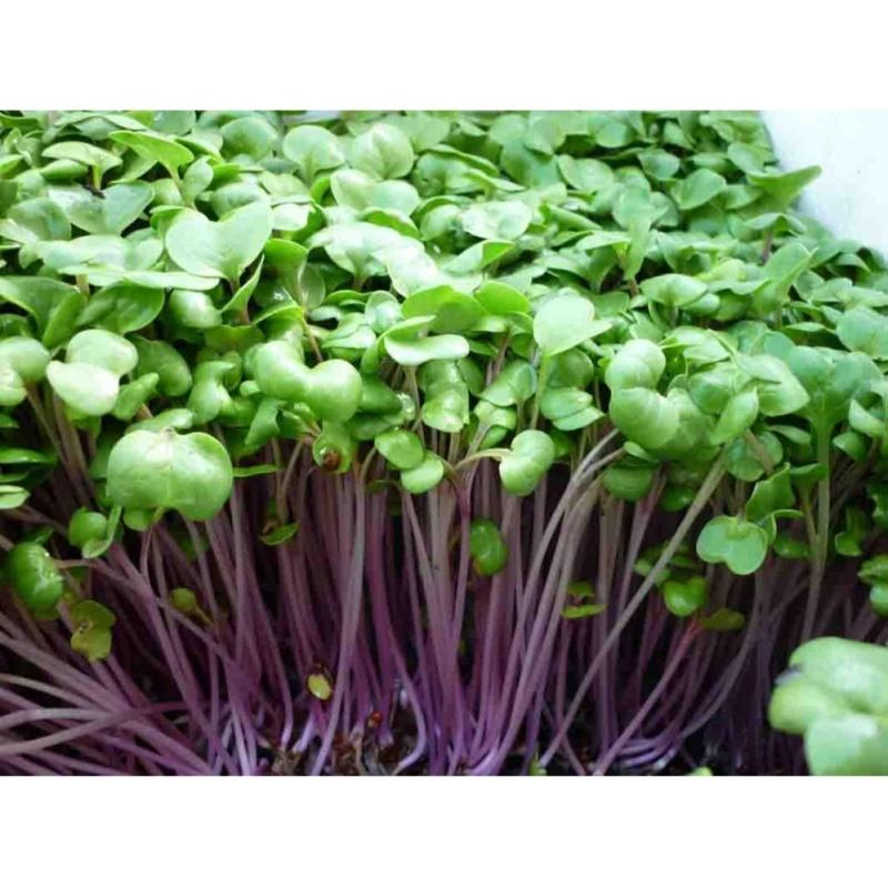 Hạt giống Rau mầm củ cải đỏ - Tặng kèm một viên kích thích nảy mầm