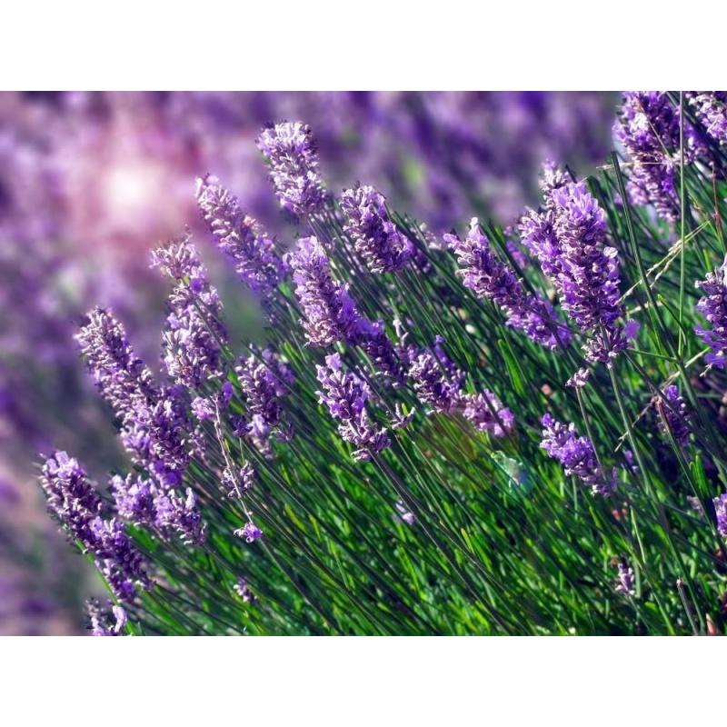 Oải Hương tím (Lavender) + Tặng 01 gói hạt giống hoa hồng leo pháp